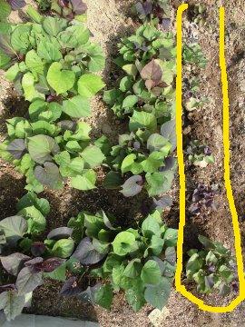 さつま芋苗比較栽培9