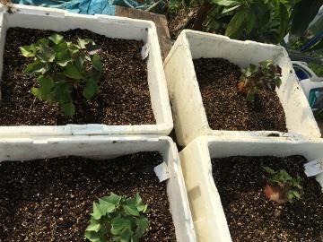 さつま芋苗比較栽培10