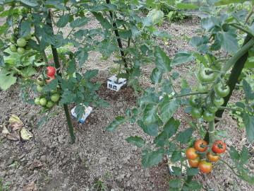 野菜が次々収穫時期