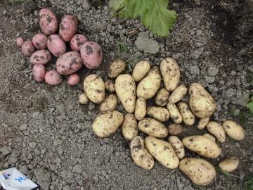 野菜が次々収穫時期6