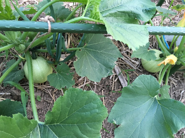 野菜が次々収穫次の日3