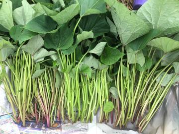 さつま芋苗の生え方6