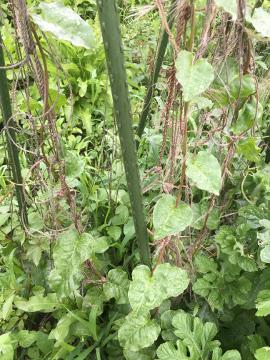 さつま芋苗の生え方7