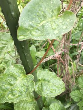 さつま芋苗の生え方8