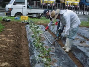 さつま芋植え中断2