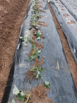 さつま芋植え中断3