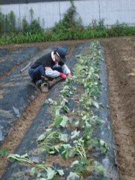 さつま芋植え中断5