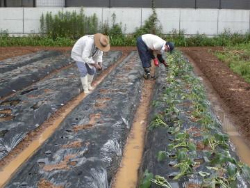 さつま芋植え残りとじゃが芋掘り4