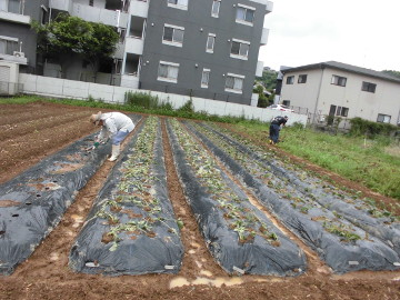 芋掘りと苗植え