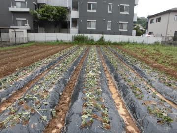 芋掘りと苗植え2