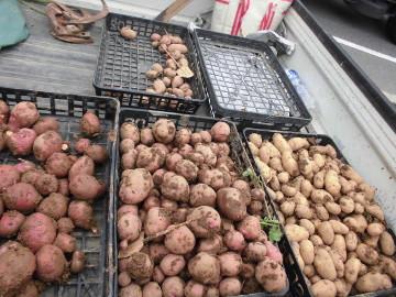 芋掘りと苗植え3