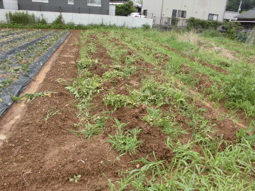 芋掘りと苗植え4