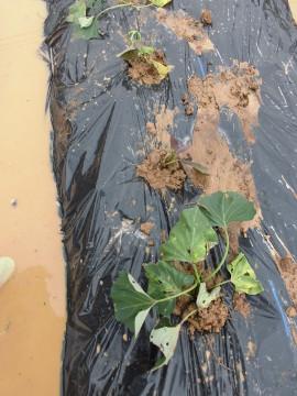 ボカシ作りとさつま芋苗植え6