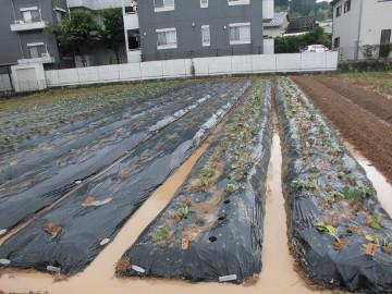 ボカシ作りとさつま芋苗植え7