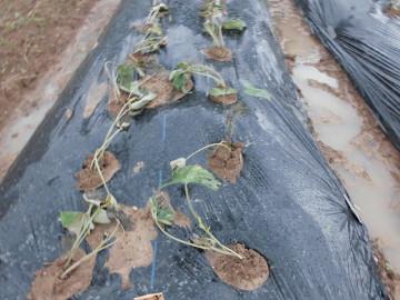 ボカシ作りとさつま芋苗植え9