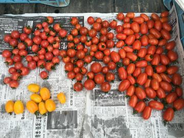 野菜採りとカナブン