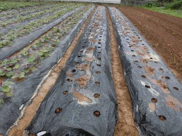 さつま芋苗植え終了です。
