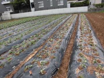 さつま芋苗植え終了です。2