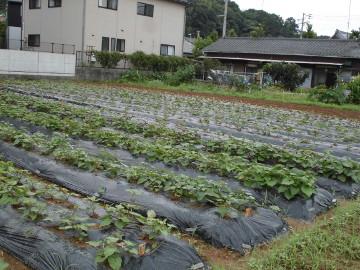 さつま芋苗植え終了です。3