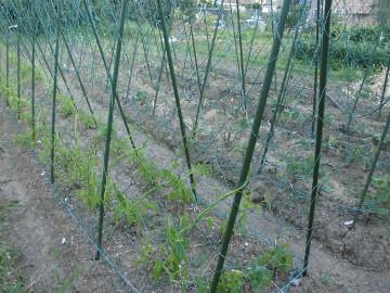 つくね芋芽が伸びた2