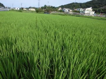 有機米の穂が出始めた