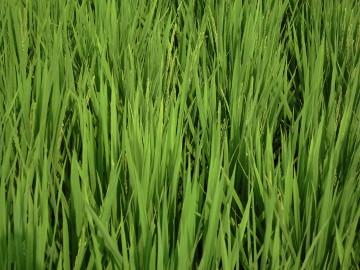 有機米の穂が出始めた2