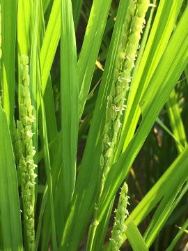 有機米の穂が出始めた3