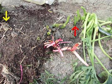 有機米の穂が出始めた4