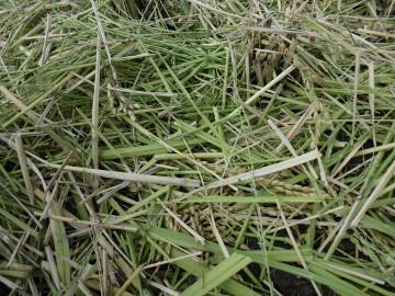 有機米稲刈り28年4