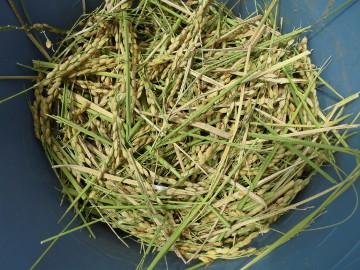 有機米稲刈り28年5
