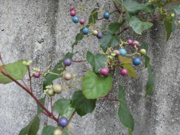 ツル性植物元気3