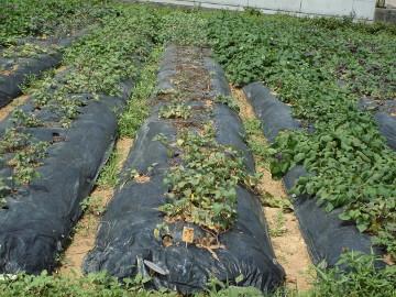 秋ジャガ植え28年2
