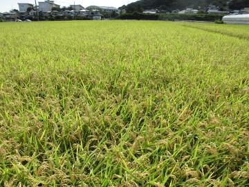 れんげ米半分稲刈り強行2