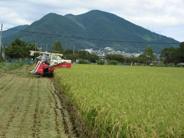 れんげ米半分稲刈り強行4
