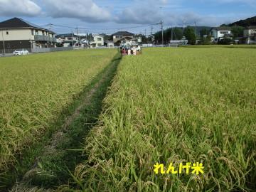 れんげ米半分稲刈り強行6
