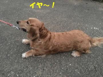 れんげ米半分稲刈り強行13