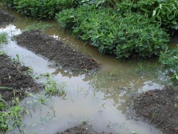 農園が浸かってしまった