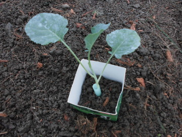 苗植え途中で雨4