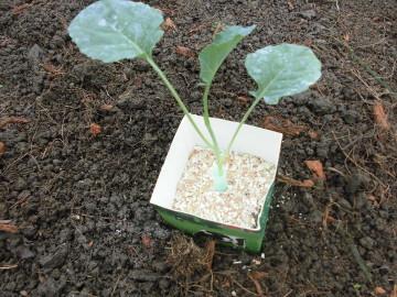 苗植え途中で雨6