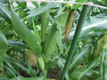 苗植え途中で雨8