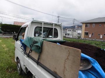 イモ畑にキャベツ苗植え3