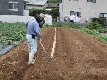 イモ畑にキャベツ苗植え9