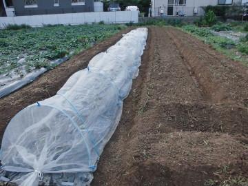 イモ畑にキャベツ苗植え10