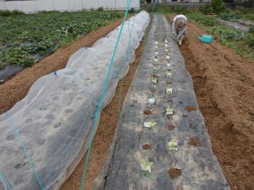 イモ畑にキャベツ苗植え続き