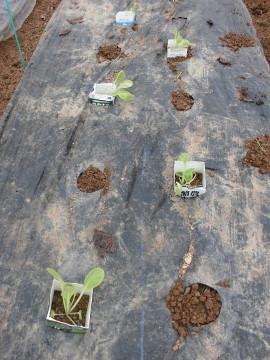 イモ畑にキャベツ苗植え続き2