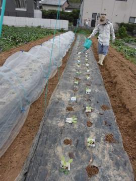 イモ畑にキャベツ苗植え続き3