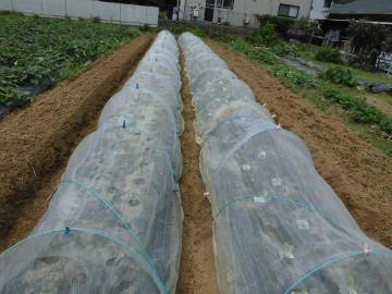 イモ畑にキャベツ苗植え続き4