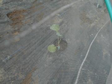 イモ畑にキャベツ苗植え続き5