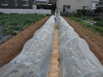 イモ畑にキャベツ苗植え続き6