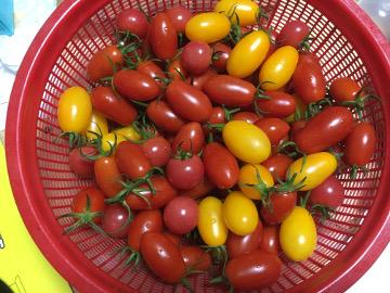 復活ミニトマト